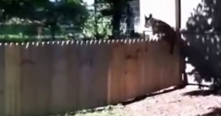 The man just built a fence, but his dog comes along and ruins his proud moment