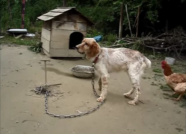 This dog was so weak he could barely lift the weight of his chain, but watch this
