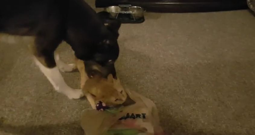 Dog and cat squabble over new toy