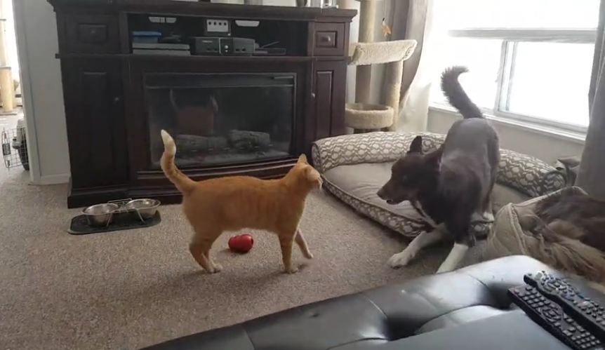 Hyped-up dog tries everything to engage cat in playtime