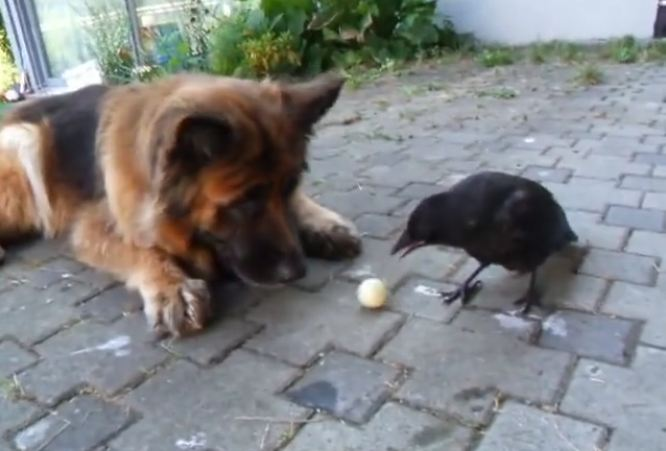 Prepare yourself — you've never seen anything quite like this dog and crow