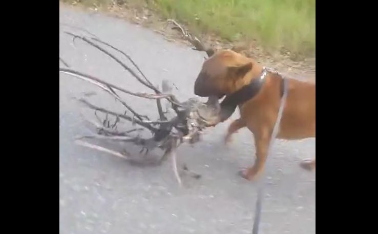 Dog loves tree, decides to bring it home