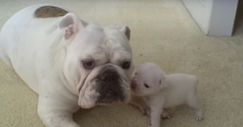 Tiny pup has a few choice words for mama, and she's not impressed