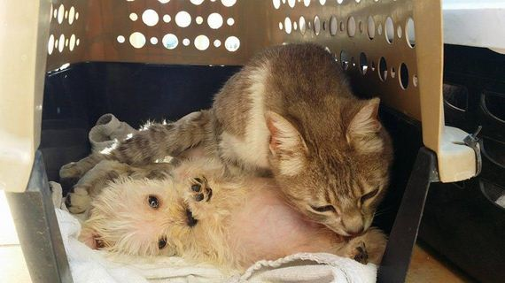 Cat Survives Attack By A Pack Of Dogs, Then Becomes A Mother To An Orphaned Puppy