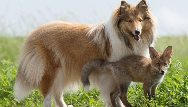 Orphaned Baby Fox Adopted By Maternal Collie, And It's Just As Adorable As It Sounds!