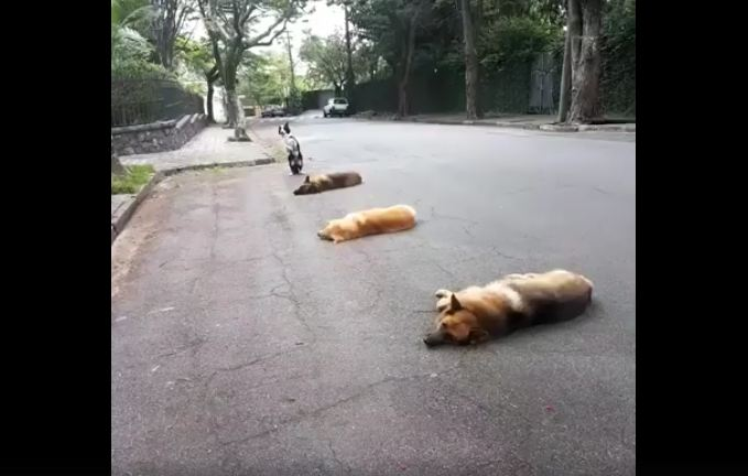 Dogs lie in a row in the street, but keep your eyes on the one in the back