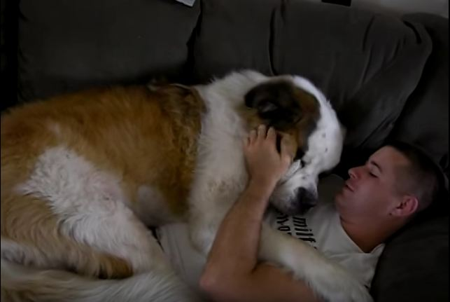 In just seconds, you'll see the world's largest lap dog. Are you ready for this?