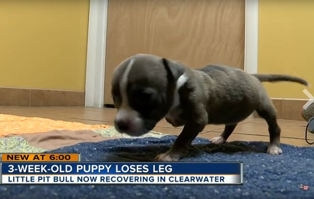 Tiny Puppy Loses Her Leg But Not Her Fiery Spirit