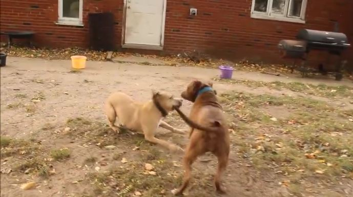 2 former fighting dogs meet for the first time. How they react is beyond words.