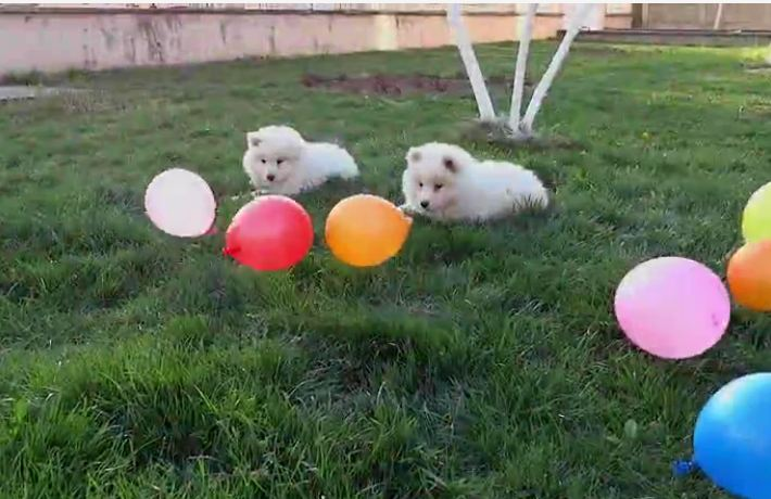 Samoyed puppies sit in the yard with a bunch of balloons — then the wind starts blowing