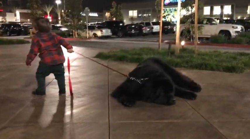Toddler attempts to walk massive Newfoundland, adorably fails