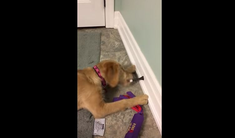 Golden Retriever Puppy Has Fun With Toys Until She Discovers That Door Stops Are Fun, Too!