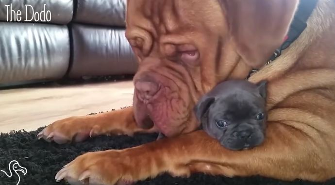 Humongous Dog Is Best Friends With an Adorable Itsy-Bitsy Puppy