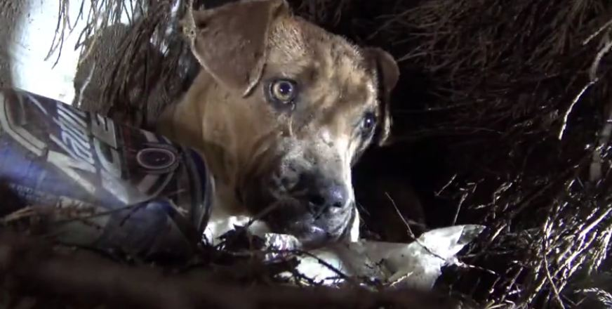 Pit bull who'd just given birth was found in the rain. Then he reaches for one of her puppies