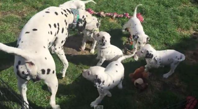 Dad Dalmatian Leaps Away From His 8 Babies When They Comically Try To Nurse From Him