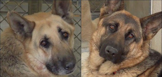 Beautiful bonded German shepherds having very tough time at crowded shelter