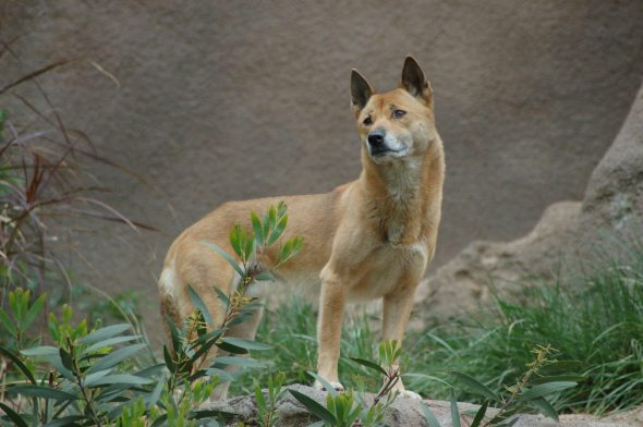 Ancient Species of Wild Dog Believed to Be Extinct Has Been Rediscovered