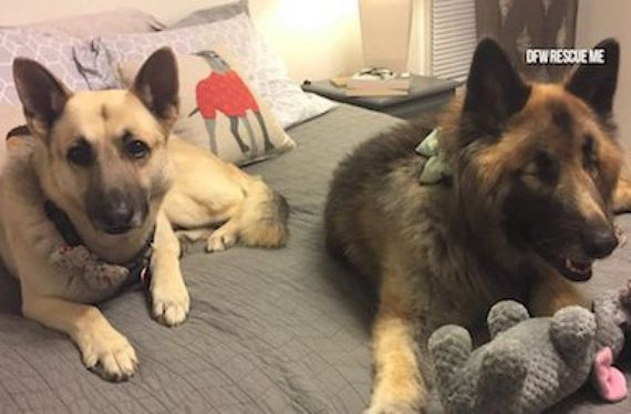 Blind Dog Loses Eyes To Glaucoma, Then Gets Her Very Own Seeing-Eye Dog