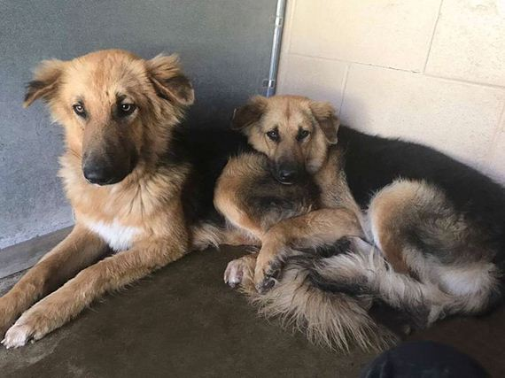 Shelter Dogs Frightened To Be Separated Wouldn't Let Go Of Each Other, So Someone Adopted Them Both