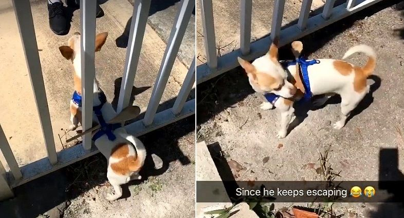 Dog Owner Finds a Clever Way to Keep Their Lil Houdini from Escaping