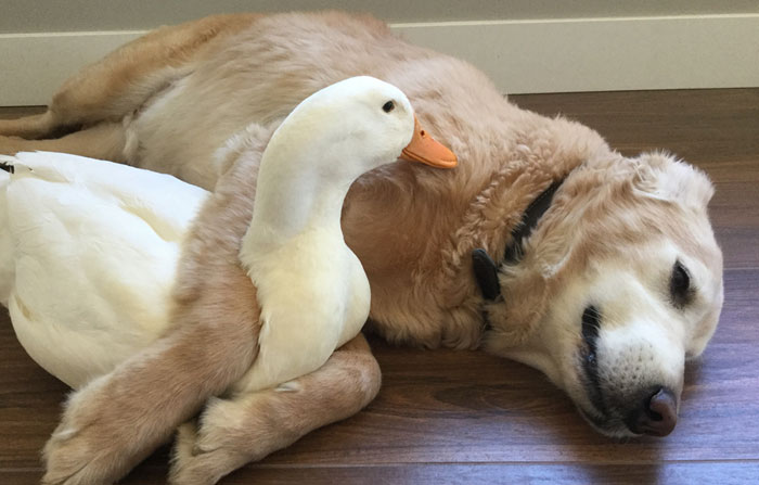 This Surprising Dog And Duck Friendship Shows That Animals Pick Friends Not By Their Looks