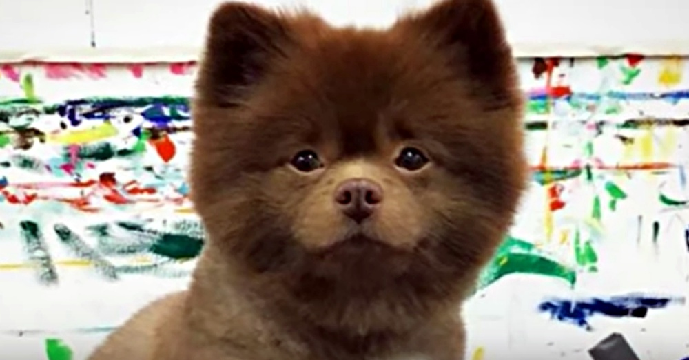 He Was Dumped By A Breeder For Being Too Big, Now This Pomeranian Is A Big Deal!