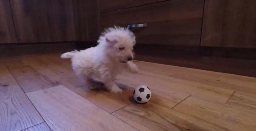 Westie puppy reacts to seeing a ball for the first time, and I'm dying over here