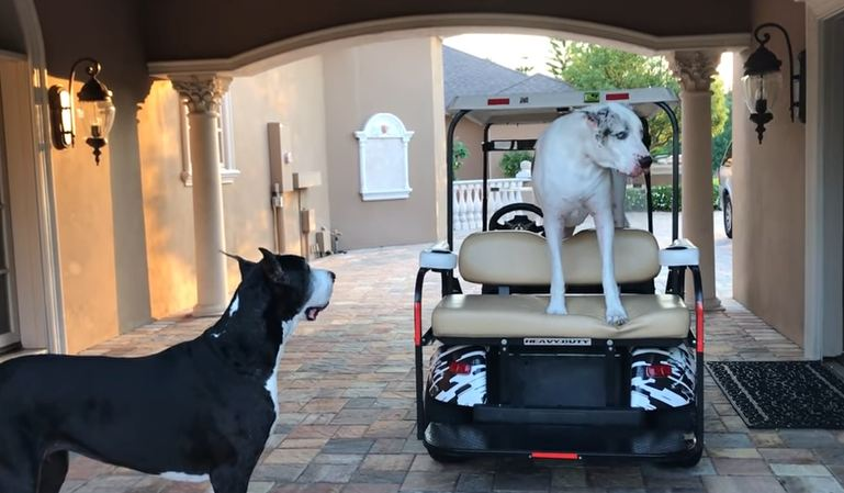 Great Dane Throws Adorable Temper Tantrum Because He Wants a Ride in the Cart