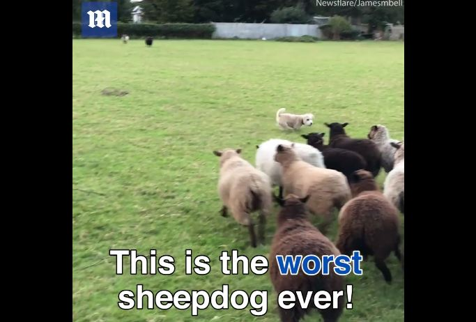 This pooch is either the world's worst sheepdog, or he's a genius