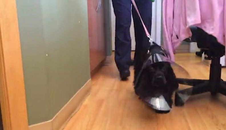 Their blind dog just got surgery to fix her eyes, now watch as she walks around the corner