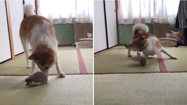 This Hilarious Dog Has NO DAMN IDEA How Hedgehogs Work