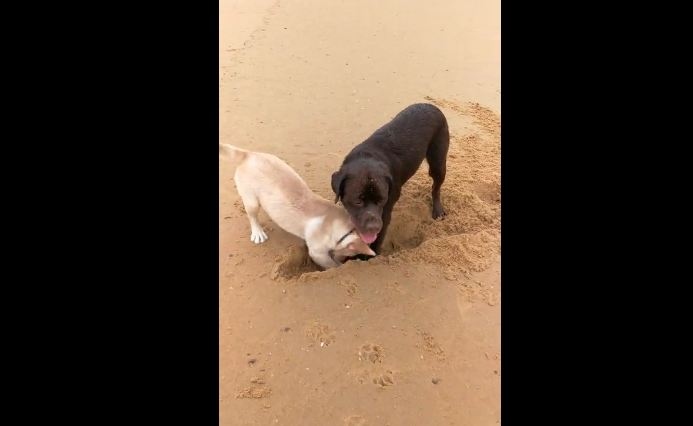 Dog teaches puppy how to dig