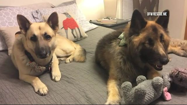 Beautiful Blind Dog Has Her Own Seeing-Eye Dog, But They Both Need A Home