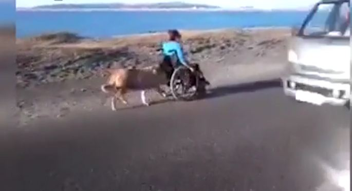 Dog helps push his disabled owner in his wheelchair