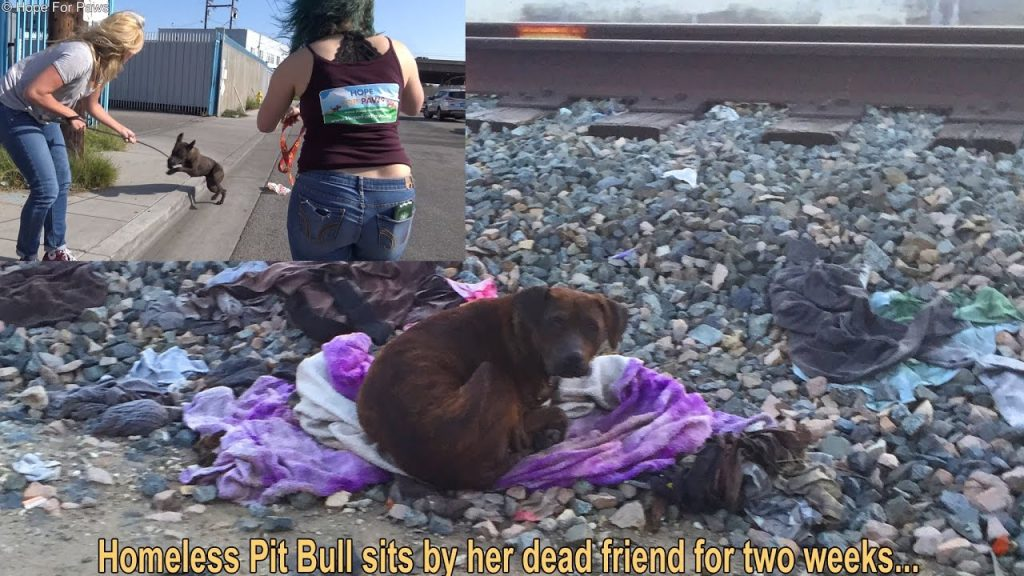Homeless pit bull sat in the same spot for 2 weeks. When they approached, they saw why…
