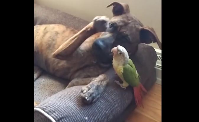 Dog has an unusual buddy, and he tries his best to carefully pet it