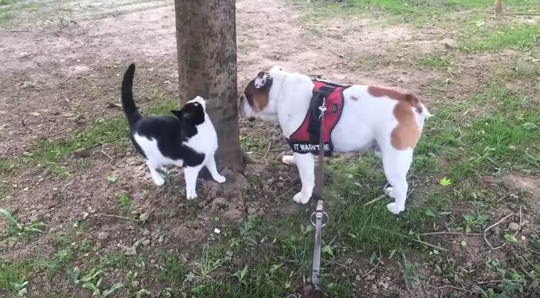 Eddie the Cat Joins His Bulldog Buddy On Walkies