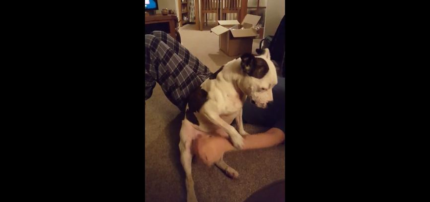 Persistent Pit Bull Refuses To Let Owner Stop Rubbing His Belly