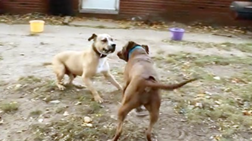 2 former fighting dogs meet for the first time — how they react is beyond words