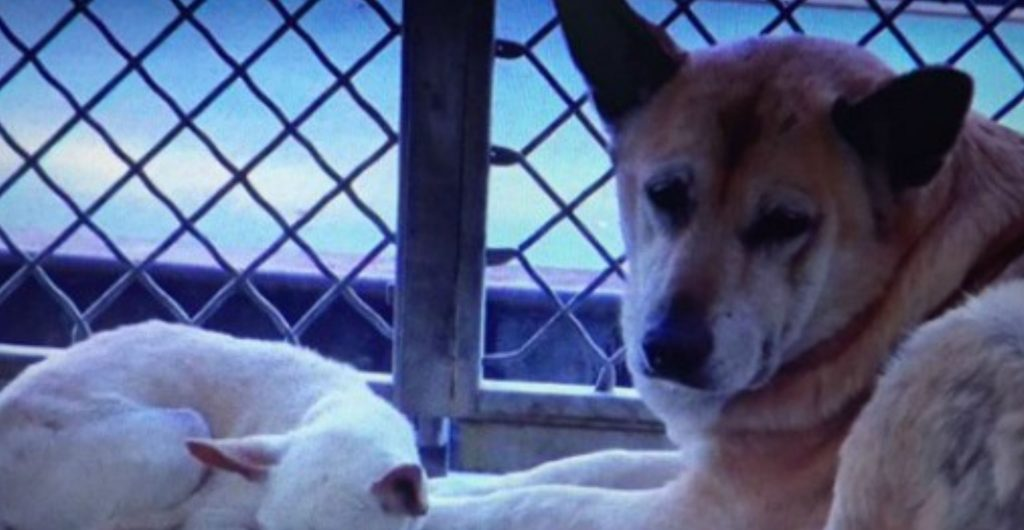 Saddest bonded German shepherd watches over her nearly blind pal at crowded shelter