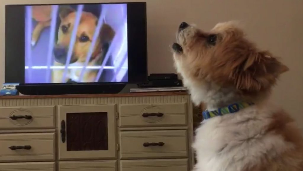 Montana rescue dog sadly whimpers while watching animal cruelty ad on television