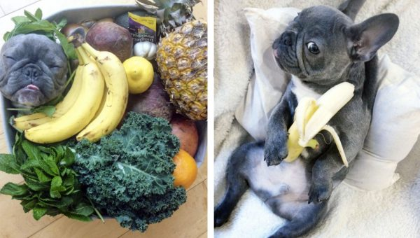 This Little Frenchie Really, Really, Really Loves to Eat