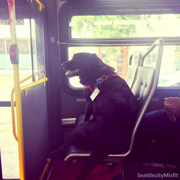 Adorable Dog Has Her Own Bus Pass So She Can Take Herself to the Park
