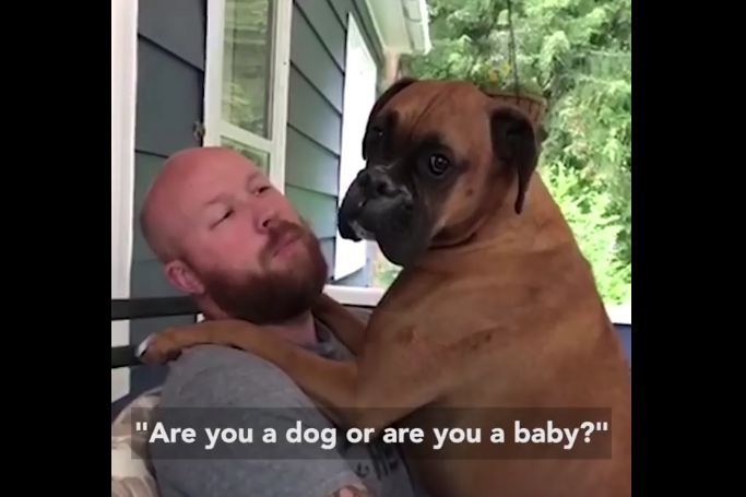 "Boxer Dog Hilariously Loses It When Dad Asks ""Are You a Dog or a Baby?"""