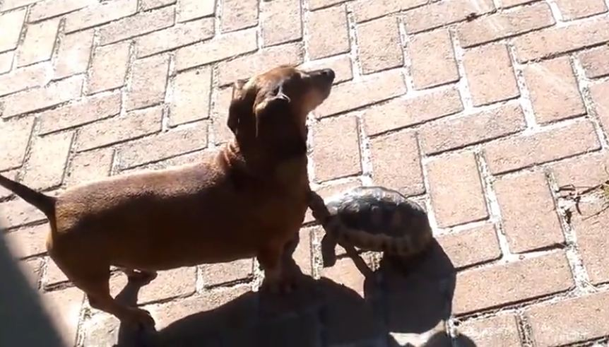 Dog and tortoise share incredible bond together