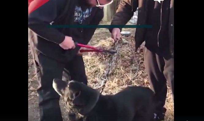 After 15 years on a chain, this dog is finally being cut free