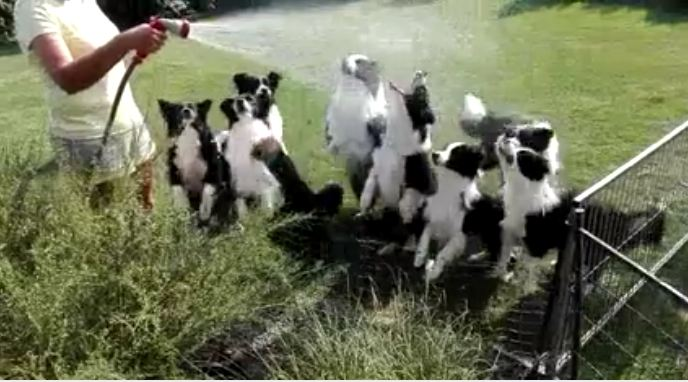 Joyful Video of Border Collies Waiting for a Hose Spray Goes Viral
