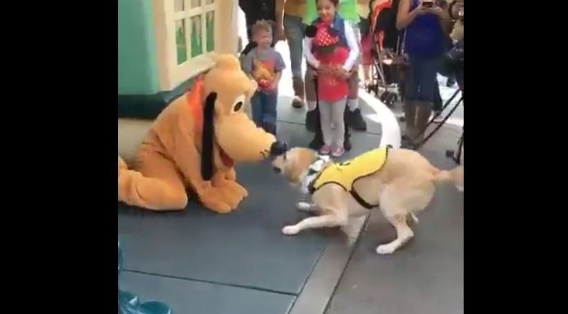 Service dog has priceless reaction after meeting Pluto at Disneyland