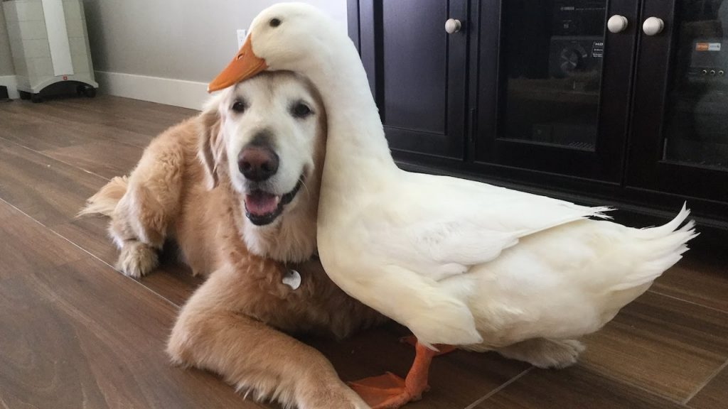 Leave it to a Golden Retriever to become best friends with a duck