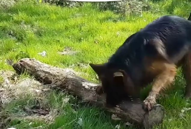Dog Hits the Mother Load of Sticks and Refuses to Leave Without It